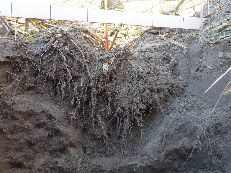 La spécialiste Anne Weill remarque plusieurs travaux de sous-solage inefficaces au Québec. Ici, les dents n'ont pas pulvérisé uniformément le sol; le déploiement des racines se limite à la partie travaillée. © CETAB+