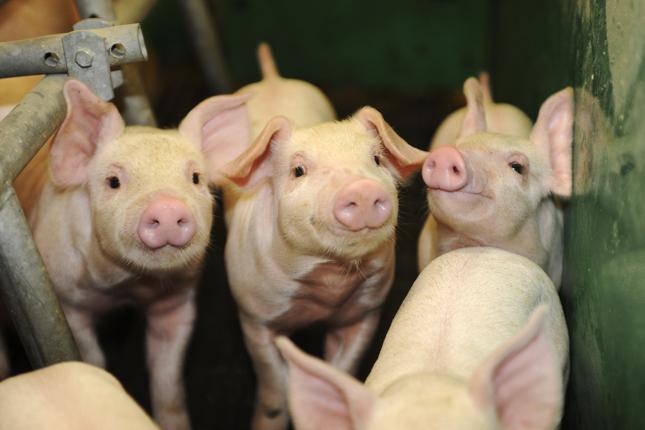 Revoir l'organisation du travail a permis de faire autrement et d'améliorer l'efficacité du travail aux fermes Jo-Porcinet et Ami-Porc. © Archives/TCN