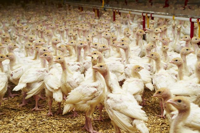 Le virus de la grippe aviaire a été identifié dans un élevage commercial de dindons en Ontario. © Archives/TCN