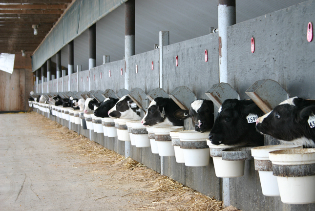 Les veaux sont plus sensibles à la Salmonella Dublin que les bovins adultes. © Julie Mercier