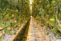 La production de tomates trône toujours au sommet en termes de superficies cultivées en serres. © Martine Giguère
