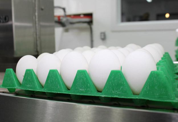 Les États-Unis ouvrent leurs frontières aux œufs hollandais. © Archives/TCN