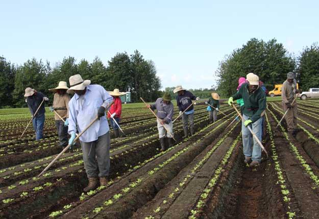Les travailleurs recrutés par Agrijob à l'œuvre à la ferme Delfland. Ils sont une dizaine à être au rendez-vous année après année. © Martine Giguère