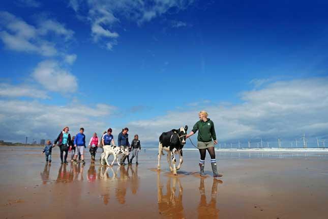 La manifestation la plus originale revient sans doute aux éleveurs britanniques qui sont descendus sur la plage, avec leurs vaches, pour discuter du bas prix du lait avec les vacanciers! © Facebook