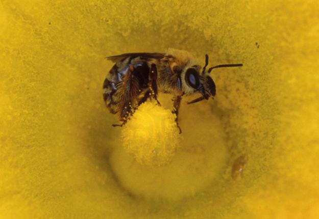 La réduction de l'utilisation des néonicotinoïdes pour la protection des abeilles est l'un des deux axes importants de la nouvelle Stratégie québécoise sur les pesticides. Crédit photo : Archives/TCN