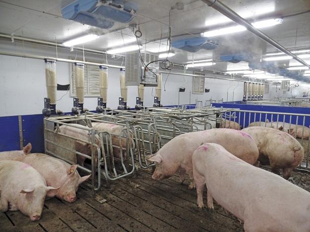 Il faudra sans doute attendre des règlements spécifiques issus de la nouvelle loi pour préciser ce qui sera exigé afin qu'un animal puisse « se mouvoir suffisamment » dans son lieu d'élevage. Crédit photo : Archives/TCN