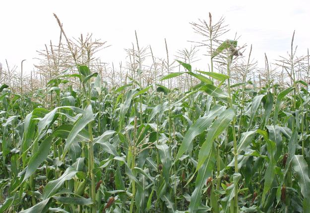 Les problèmes de contamination, notamment par pollinisation croisée, affectent la production biologique. La nouvelle norme demande à chaque producteur de définir sa stratégie pour prévenir la contamination par les OGM. Crédit photo : Martin Ménard/TCN