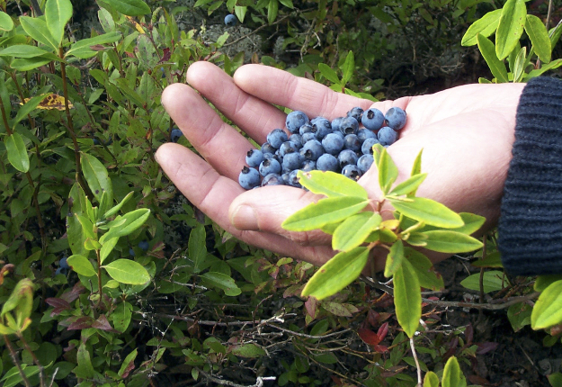 Le nouveau procédé d'extraction et de purification des anthocyanes dans le bleuet permettrait aux producteurs de ce petit fruit d'augmenter leur part de marché. Crédit photo : Archives/TCN
