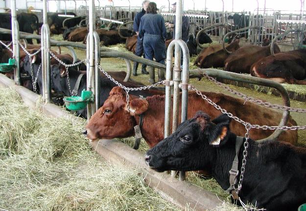 Les vaches attachées, un sujet très chaud au Québec : la nouvelle norme bio interdit ce genre de pratique dans les étables qui seront construites ou celles qui subiront des rénovations majeures. Crédit photo : Martin Ménard/TCN