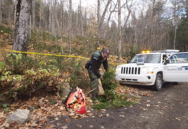 L'if du Canada est convoité par plusieurs cueilleurs non autorisés en forêt publique et de plus en plus en forêt privée. Crédit photo : Ministère des Forêts, de la Faune et des Parcs