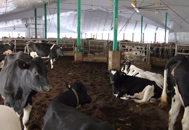 En plus d'augmenter le confort des vaches, l'élevage sur litière accumulée de mousse de tourbe chez les Bédard a permis de réduire les cas de mammite et d'améliorer la santé des onglons. Crédit photo : Martine Giguère/TCN