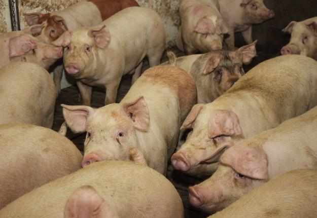 C'est le 5 juin que seront officialisés les premiers mouvements de porcs entre abattoirs. Crédit photo : Archives/TCN