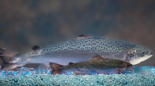 Crédit photo : AquaBounty Technologies