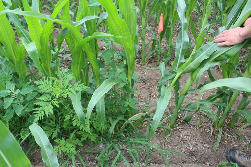 Sur les terres de Roger Caza, la pression des mauvaises herbes est plutôt importante dans les sections qui n'ont reçu aucun herbicide cette année (à gauche du drapeau rouge).
