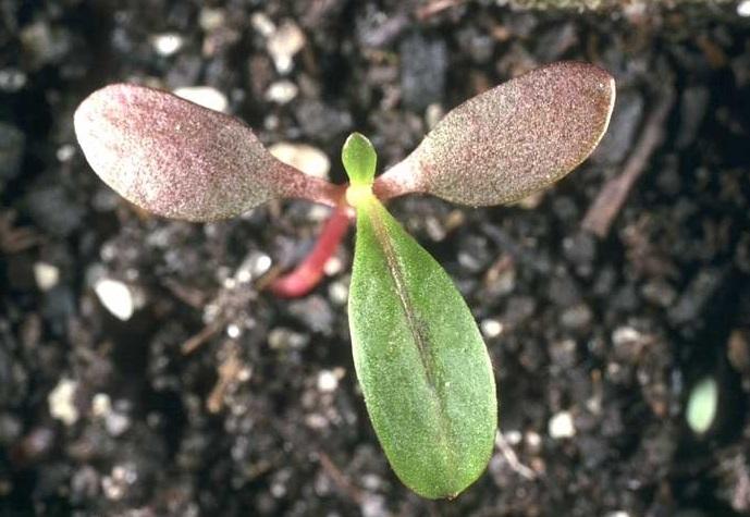 Plantule de renouée persicaire, l'une des espèces supprimées par l'atrazine.