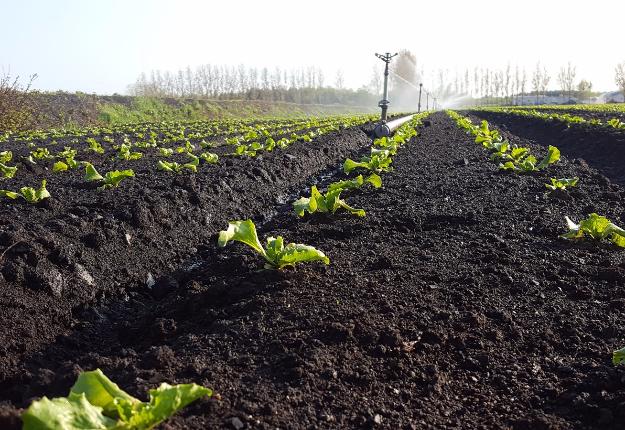 Pour la laitue de Vert Nature, une bonne irrigation est nécessaire pratiquement tout au long de la culture. Crédit photo : Vert Nature