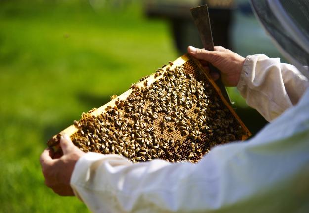 La recette gagnante d'une excellente production de miel semble au rendez-vous cette année : une hausse du nombre de colonies et… de la chaleur! Crédit photo : Martin Ménard/TCN