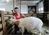 Jean-Michel Popik est tondeur de moutons, un métier qui lui permet de relever des défis. Crédit photo : Martine Giguère