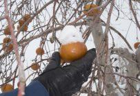 La Face cachée de la pomme est reconnue pour sa production de cidre de glace. L'entreprise restera en activité jusqu'à la décision d'acceptation ou de refus de sa proposition par les créanciers. Crédit photo: Archives/TCN