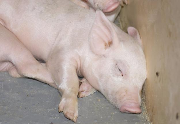 Le prix du porc s'est littéralement écroulé depuis le début de juin. Crédit photo : Archives/TCN
