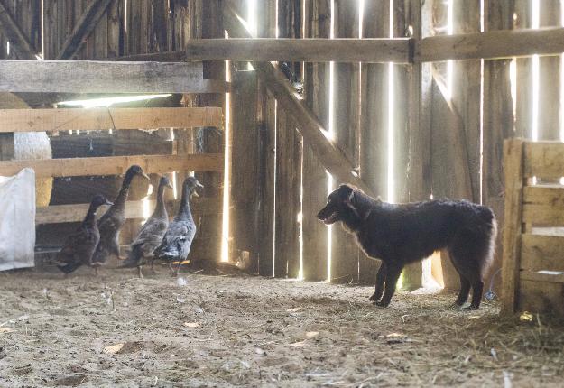 Le chien qui « bosse » les moutons et les bœufs. Crédit photos : Martin Ménard/TCN