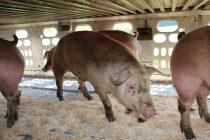 Le 15 septembre dernier, le virus de la vallée Seneca, baptisé depuis Senecavirus A, a été détecté dans un chargement de porcs provenant du Québec et de l'Ontario. Crédit photo : Archives/TCN