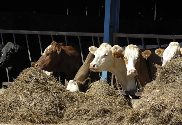 L'Union européenne exige du bœuf sans hormones de croissance et n'accepte pas les principaux produits de nettoyage des carcasses utilisés au Canada. Crédit photo : Archives/TCN