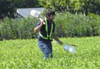 Une fois les pois à maturité, le fieldman doit préparer le champ avant la récolte.