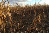 Un producteur a envoyé à la Terre cette photo qui montre une partie des dommages causés à ses cultures de maïs par les sangliers.