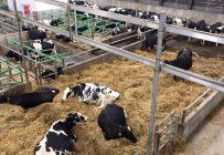 L'ensemble du troupeau de la Ferme Baril et frères à Plessisville, au Centre-du-Québec est exposé à la bactérie Salomonella Dublin, une situation qui a débuté en avril dernier avec l'achat d'un veau provenant d'une autre ferme. Crédit photo : Ferme Baril et frères