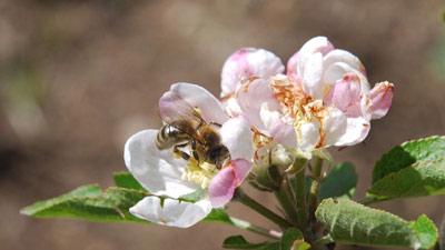 abeille-fleur-pommier
