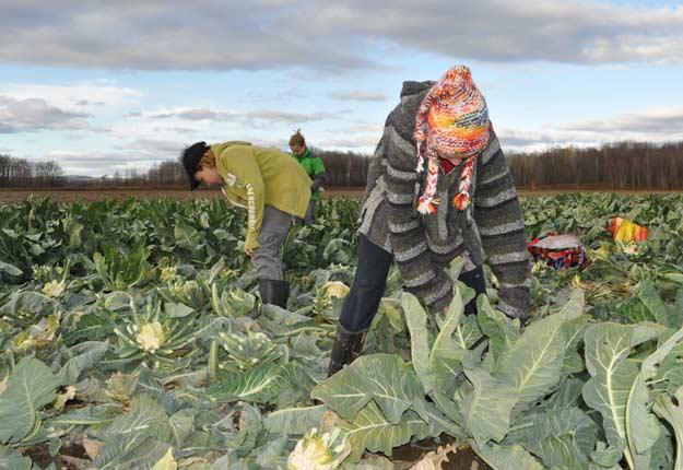 Glanage de choux-fleurs par le groupe Glanage Québec dans un champ de Saint-Jacques. Crédit photo : Geneviève Quessy