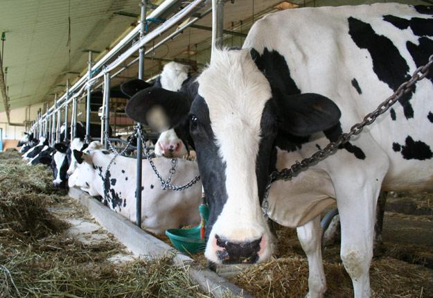 Après la visite d'une ferme ou d'une exposition d'animaux, il faut éviter de ramener la bactérie chez soi.