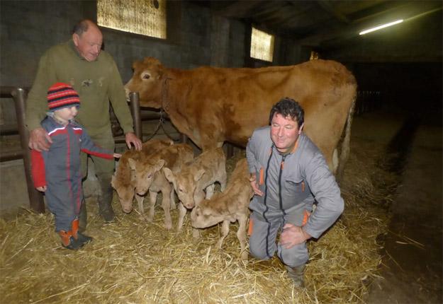 Gracieuseté : La vache et ses quatre veaux, entourés de Georges et de Christian Couget et du petit Bastien, qui a le mandat de superviser la tétée lorsqu'il n'est pas à l'école.