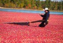Les cannebergières québécoises viennent de faire la récolte du siècle, mais les faibles prix limitent notamment le développement de la production. Crédit Photo : Martin Ménard/TCN