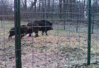 Quatre sangliers sauvages viennent d'être capturés dans une immense cage installée par le ministère des Forêts, de la Faune et des Parcs. Crédit photo : MFFP