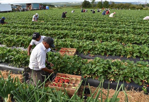 La main-d'œuvre représente de 50 à 60 % du coût de production pour un producteur de fraises. Crédit photo : Gracieuseté de l'APFFQ