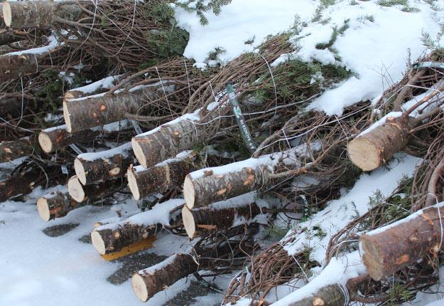 Pour une deuxième année consécutive, les exportations québécoises de sapins de Noël vers les États-Unis ont augmenté de 20 %. Crédit photo : Ariane Desrochers/TCN