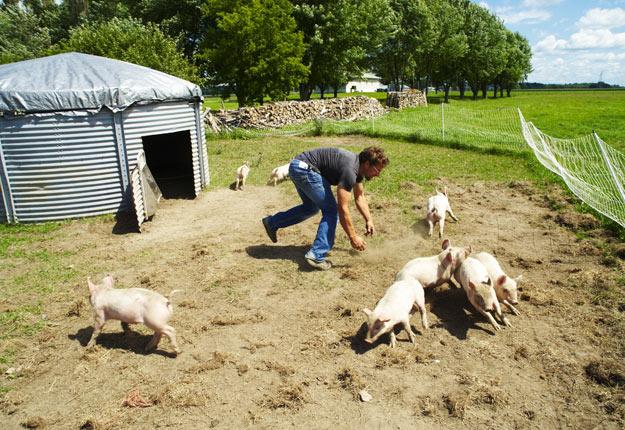 Élever des porcs au pâturage n'est pas de tout repos et Sébastien Angers en sait quelque chose. Heureusement, son élevage connaît aujourd'hui beaucoup de succès. Il en produira plus de 1 000 cette année. Crédit Photo : Archives/TCN