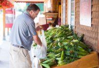 Le maïs sucré de Neuville fait l'objet d'un projet visant à obtenir une appellation IGP. Le processus en est à la dernière étape. On attend l'approbation du ministre. Archives TCN.