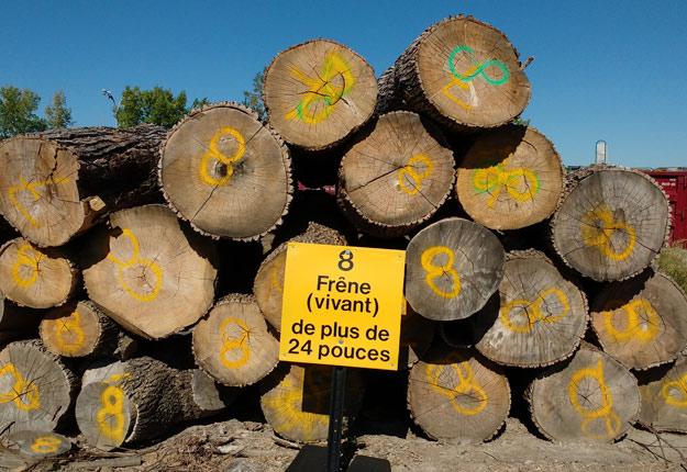 Il en coûte entre 500 $ et 1000 $ pour abattre un arbre dans une municipalité. Crédit photo : Fédération des producteurs forestiers du Québec.