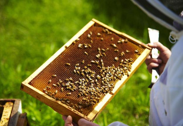 Les producteurs de bleuets veulent payer moins pour la location de ruches. Les apiculteurs pourraient réagir en envoyant des ruches faibles; « le même bordel qu'avant », dit Léo Buteau, président de la Fédération des apiculteurs du Québec. Crédit Photo : Martin Ménard/TCN