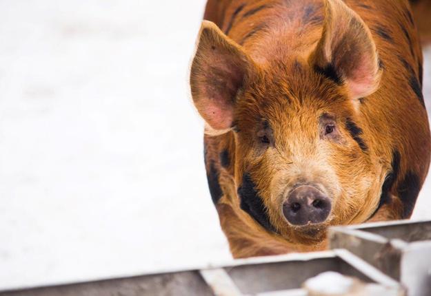 Solange Thibodeau comptera une soixantaine de porcs au pâturage en 2017. Crédit photo: Martin Ménard / TCN