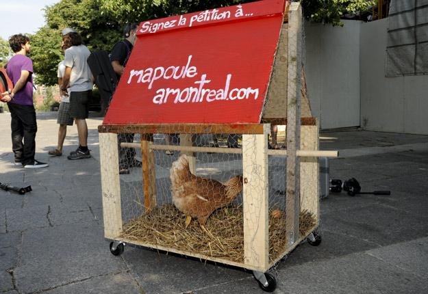 En 2010, des militants ont manifesté afin que les Montréalais puissent accueillir des poules dans leur arrière-cour. Depuis, de nombreuses municipalités ont permis l'élevage de « poules en ville ». Crédit photo : Archives/TCN