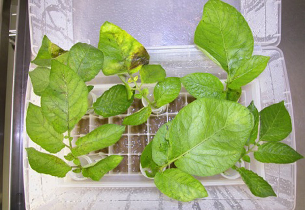 Après sept jours d'infection au mildiou, les plantes qui ont reçu un traitement avec un biopesticide (notre photo) affichent de meilleurs rendements que celles sans biopesticide. Crédit photo: Patrice Audy, AAC