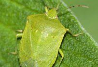 La punaise verte ou ponctuée, commune en région tropicale et subtropicale, est également sur la liste des nouveaux insectes à surveiller. Crédit photo : Juan Emilio, Creative Commons