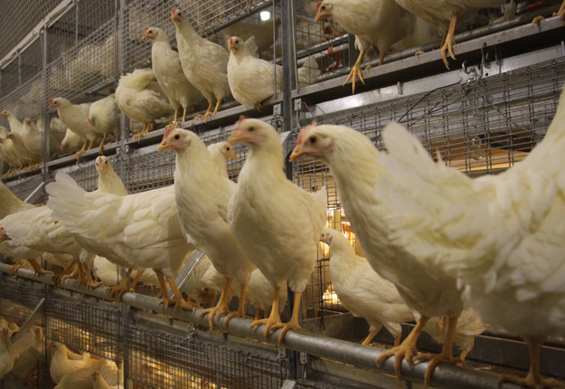 Deux grands acheteurs de poulets, A&W et Groupe Compass Canada, ont annoncé leur intention d'adopter une norme de bien-être animal supplémentaire. Crédit photo : Archives/TCN