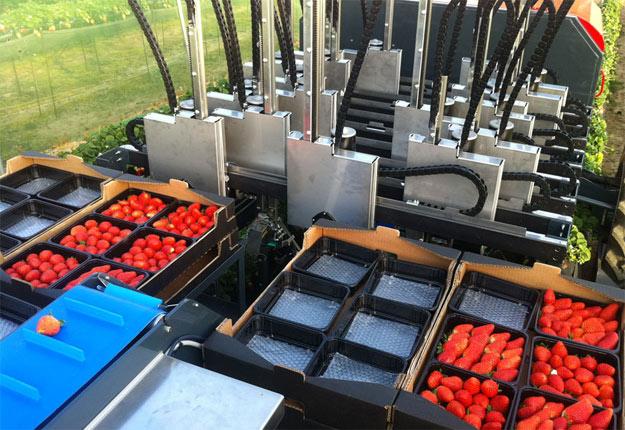 Les robots cueilleurs de fraises sont déjà rentables au Japon s'ils sont partagés entre plusieurs producteurs. Crédit photo: Agrobots