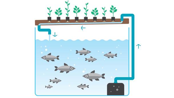 Dans le système fermé qu'est l'aquaponie, chacune des composantes rend service à l'autre. Les poissons produisent des excréments que les bactéries transforment en nutriments pour les plantes. Quant à ces dernières, elles filtrent l'eau pour les poissons.