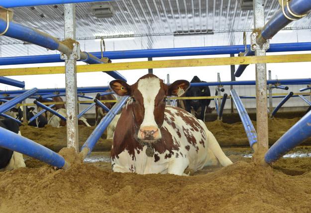 La litière recyclée est le produit de l'heure chez les commerçants comme VYF Distribution, car elle permet d'augmenter le confort des vaches tout en améliorant l'autonomie de la ferme.